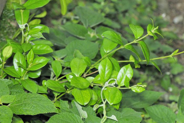 Растение джимнема - главный компонент препарата Диалек