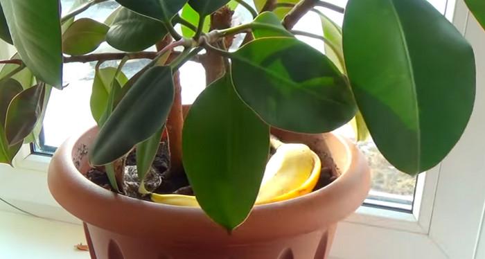 удобрить растение бананом