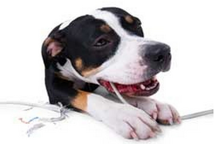 собака грызет провода