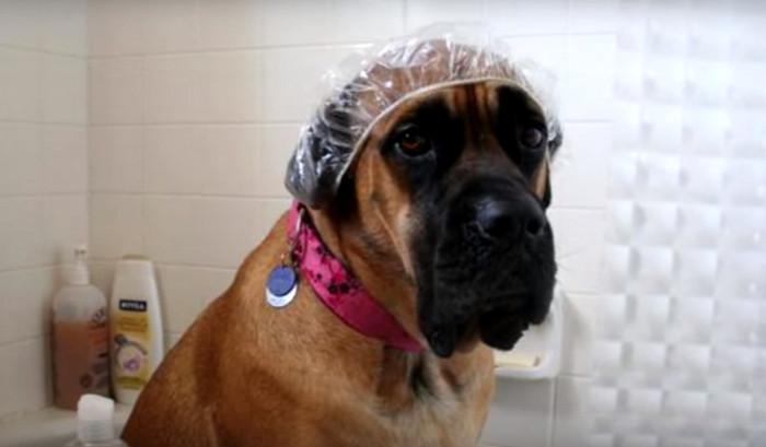 собака в шапочке для душа