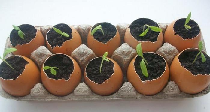 рассада в картонных лотках от яиц
