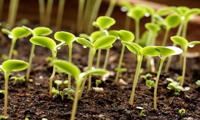 проросшие семена на грядке