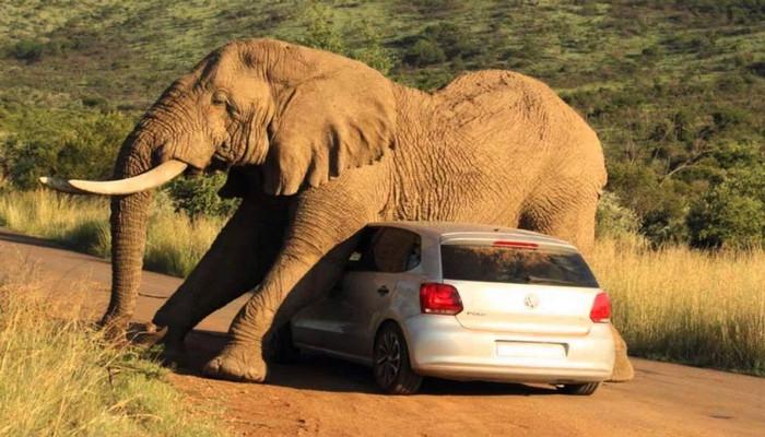 слон сел на машину