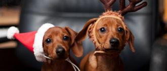 собака в новогодней шапочке