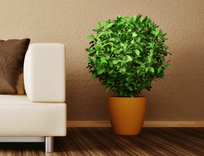 горшочное растение