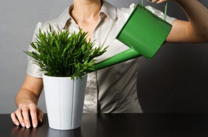поливает горшочное растение
