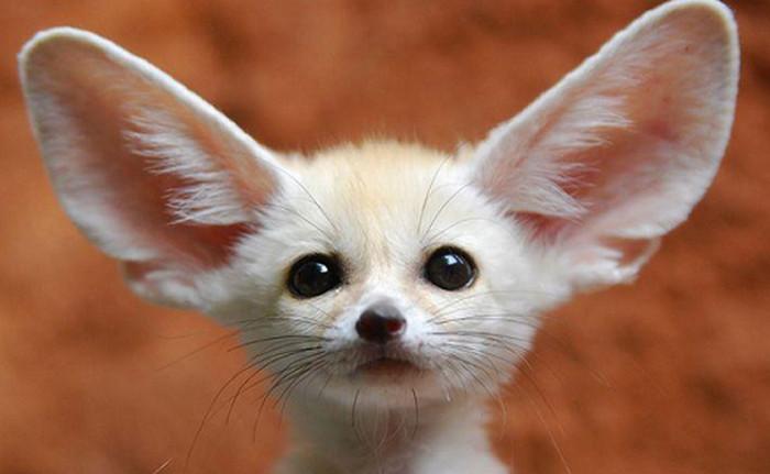 зверек с большими ушами